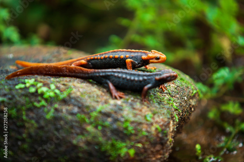 Canvas Print Two Himalayan newt on the creek.