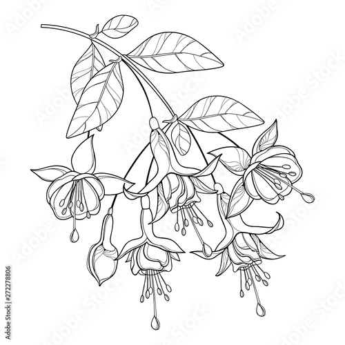 Valokuva Branch of outline Fuchsia ornate flower bunch, bud and leaf in black isolated on white background
