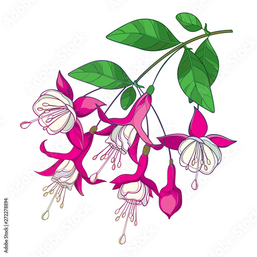 Fotografija Branch with outline Fuchsia flower bunch in pastel pink, bud and ornate green leaf isolated on white background