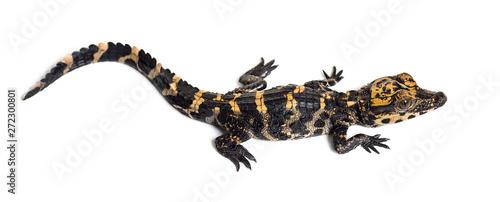 Foto Dwarf crocodile against white background