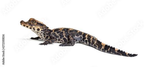 Fotografia Dwarf crocodile against white background