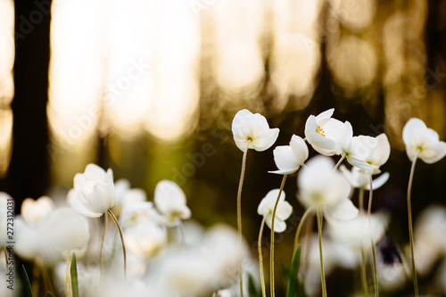 Photographie Anemone - white spring flowers on sunset background