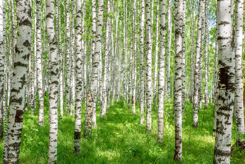 Canvas Print White birch trees in the forest in summer