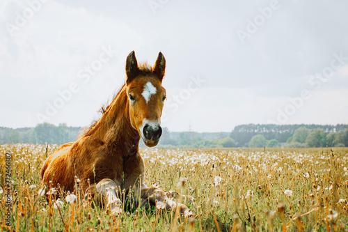 Little foal having a rest in the green grass Fototapete