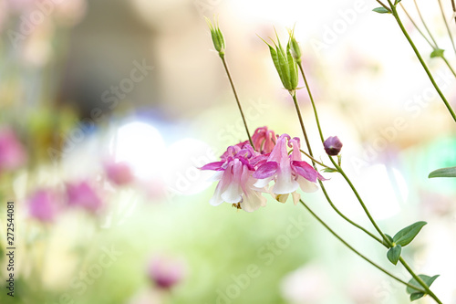 Foto Beautiful bright aquilegia in garden, closeup with space for text