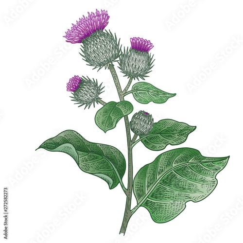 Fényképezés Medical plant Burdock. Color sketch.