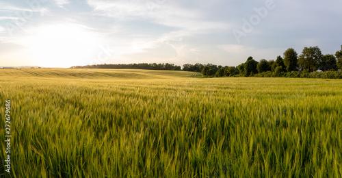 Canvas Print Beautiful crop field. summer sunset panorama around