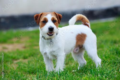 Obraz na płótnie Jack Russell Terrier dog