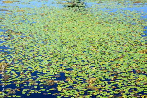 Drobne liście lili wodnej na niebieskiej wodzie.