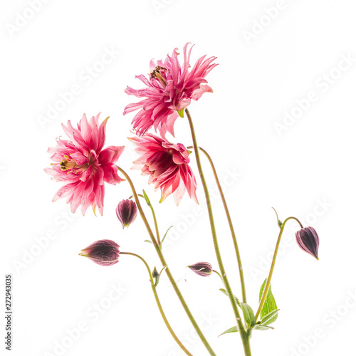Canvas aquilegia flower on the white background