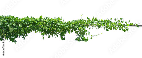 Fotografering green leaf ivy  plant isolate on white background