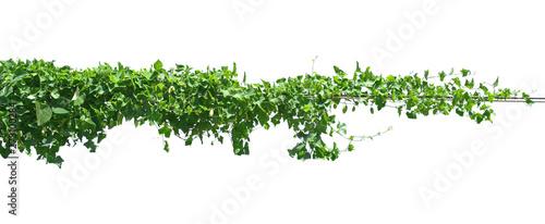 Fotografia green leaf ivy  plant isolate on white background