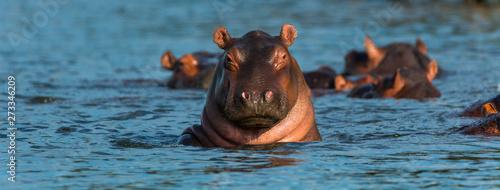 Fotografia COMMON HIPPO (Hippopotamus amphibius), Zambezi river, Victoria Falls or Mosi-Oa-