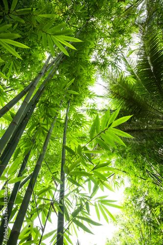 Beautiful green huge bamboo growing in the jungle
