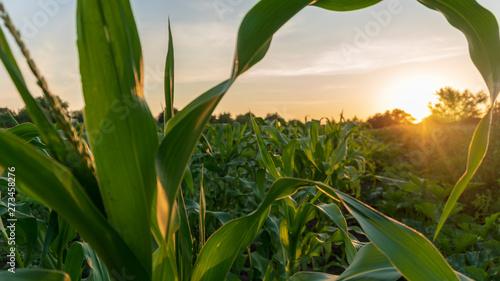 Canvas Print corn and sun close up
