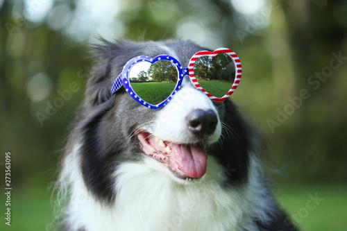 Fotografia, Obraz Border collie dog wearing heart shaped American flag sunglasses for 4th of July