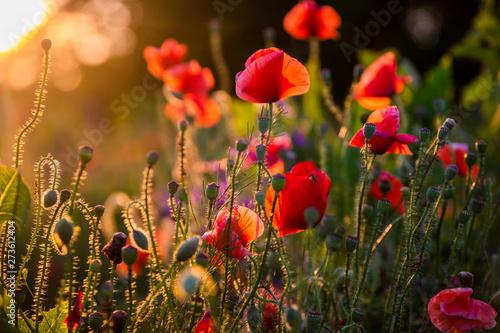 Fototapeta Field with flowering poppies. Beautiful summer landscape.