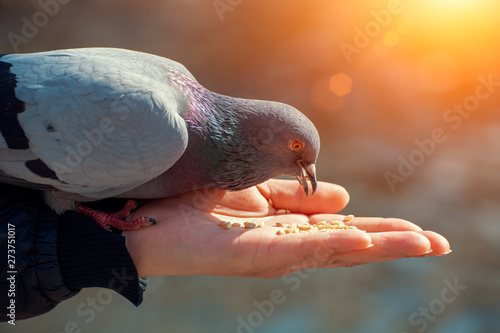 Canvas Woman feeding hungry pigeon with wheat grains in her hand