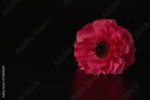 Photo Red ranunculus flowers on black background. Dark photo.