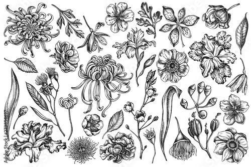 Fotografía Vector set of hand drawn black and white japanese chrysanthemum, blackberry lily