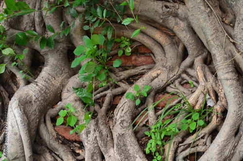 Asian creepers in Thailand, twisted tree branches Fototapete