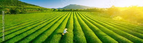 Fotografie, Obraz Aerial view of ecological tea garden