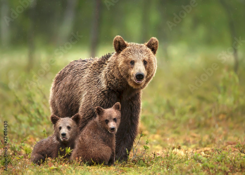 Fototapeta Female Eurasian brown bear and her cubs in boreal forest