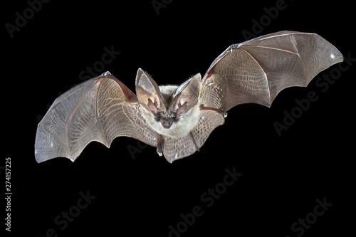 Leinwand Poster Flying Grey long eared bat