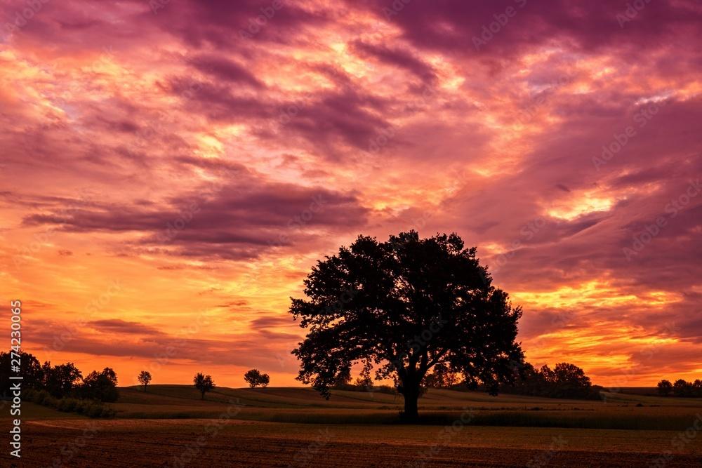 Piękne, rozłożyste drzewo na tle pupurowego nieba z chmurami o zachodzie słońca