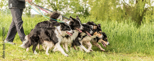 Foto Walk with many dogs on a leash in the nature.  Border Collies