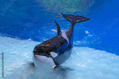 Killer whale on performance in the large Oceanarium. Marine animals in front of the audience.
