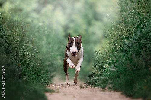 Beautiful dog breed bull terrier on nature Poster Mural XXL