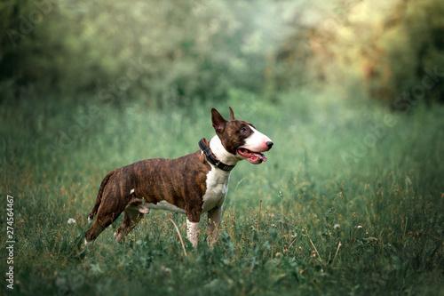 Stampa su Tela Beautiful dog breed bull terrier on nature