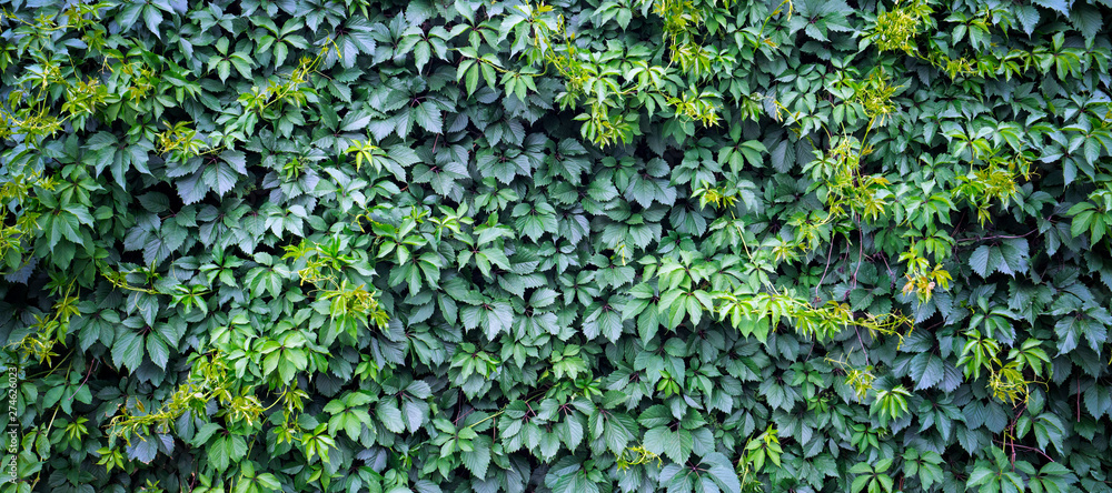 Green ivy background. Fresh green leaves texture