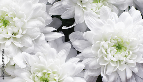Photographie Background of white chrysanthemum flowers. Buds of white flowers.