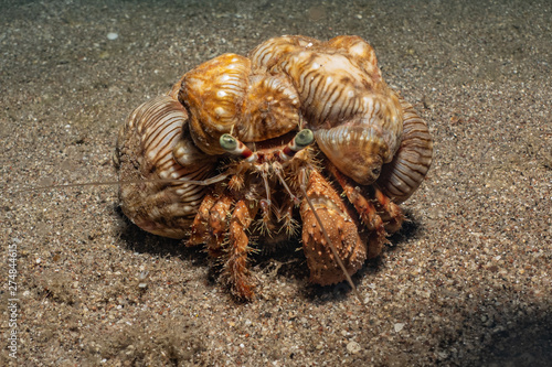 Fototapeta Anemone Carrier Hermit Crab in the Red Sea Colorful and beautiful, Eilat Israel