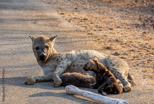 Tablou Canvas Spotted Hyena mother and cubs