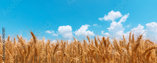 Stampa su Tela Golden wheat field panoramic low angle view