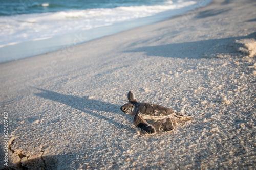 Obraz na plátne Baby Green sea turtle on the beach.
