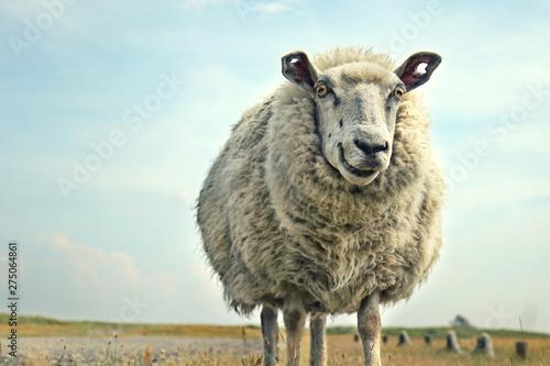 Obraz na płótnie lustig lachendes Schaf