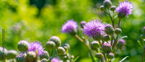 Fényképezés Flowers of burdock on a green background - panoramic cover, banner