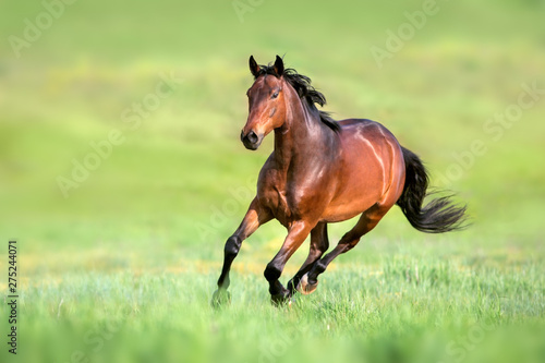 Bay horse in motion on on green grass