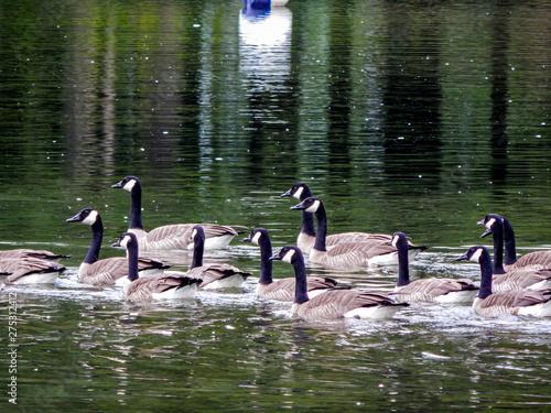 Fotografia Gaggle of Geese Swimming in the Waters of Twin Lakes in Arlington, WA