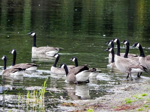 Obraz na płótnie Gaggle of Geese Swimming in the Waters of Twin Lakes in Arlington, WA