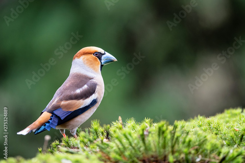 Obraz na płótnie Hawfinch in the forest in Noord Brabant in the south of the Netherlands