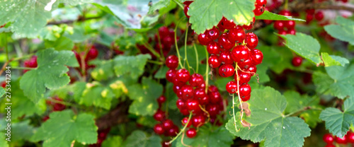 Photo red currant grows on a bush in the garden, berry, harvest, summer, plant