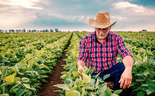 Fotografija Farmer in a soybean field. Agricultural concept