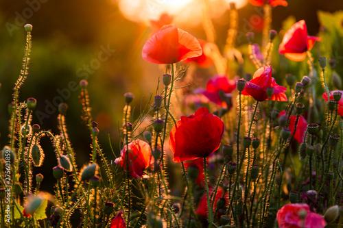 Fotografie, Obraz Field with flowering poppies. Beautiful summer landscape.