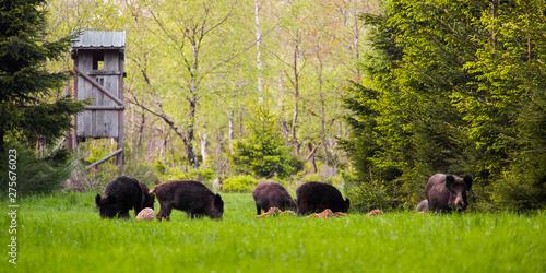 Wild boar group Fototapete
