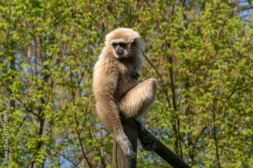 Valokuva Lar gibbon (Hylobates Lar) sitting on a pole